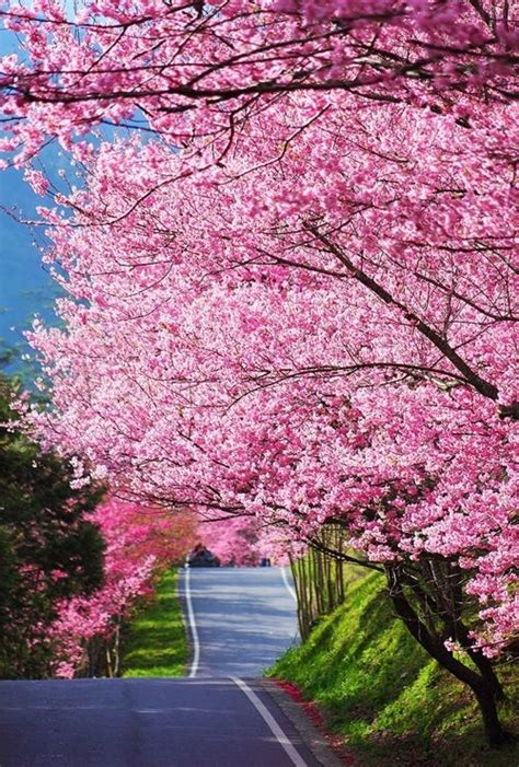 5 cherry tree walk best 25 pink trees ideas on pink sparkles trees beautiful and pink lights