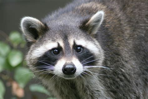 raccoon images raccoon wallpapers images photos pictures backgrounds
