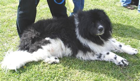 landseer puppies landseer newfoundland puppies breeds picture