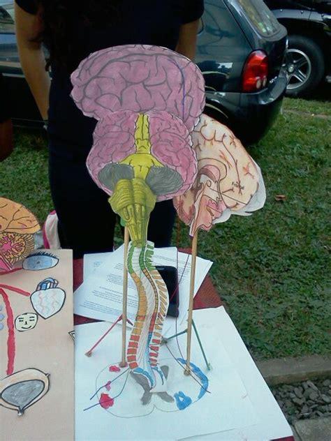 acridophagus katun maquetas del sistema nervioso completo sistema nervioso
