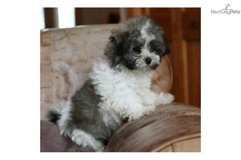 havanese cross breeds bolognese puppy for sale near brainerd minnesota 22a8915f 7d51
