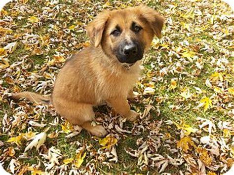 labrador retriever puppies columbus ohio skylar adopted puppy columbus oh labrador retriever chow chow mix