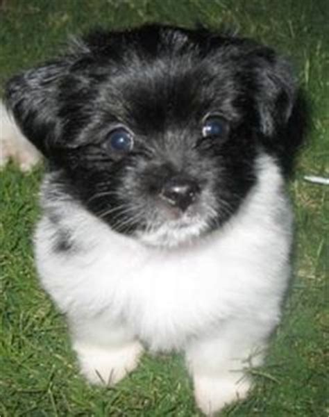 pomeranian hybrid dogs on bichon frise poodle and shih tzu