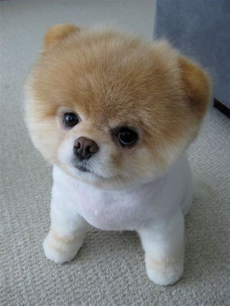pomeranian boo meet boo the cutest pomeranian damn cool pictures
