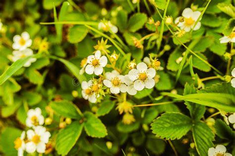 fiori della primavera fiori della fragola della primavera immagine stock