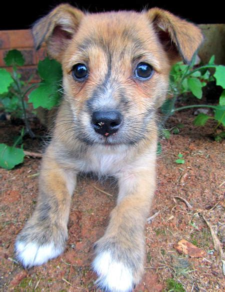 terrier mix puppies terrier mix puppies www imgkid the image kid has it