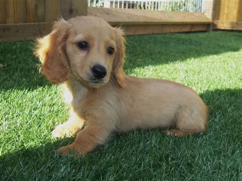 miniature puppies miniature dachshund puppy spilsby lincolnshire pets4homes