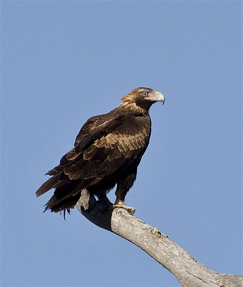 Australian Wedge Tailed Eagle Gives You Some Ideas Of The - australian related keywords australian