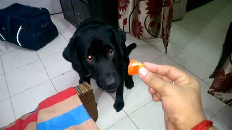 are tomatoes bad for dogs tomato funnydog tv
