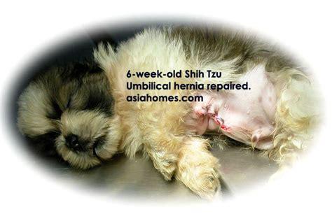puppy umbilical hernia 031208asingapore veterinary cat rabbits hamster veterinarian veterinary fees