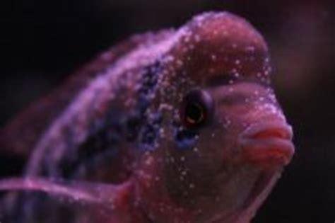 Blitz Icht White Spot Dieseases onlinefishshop