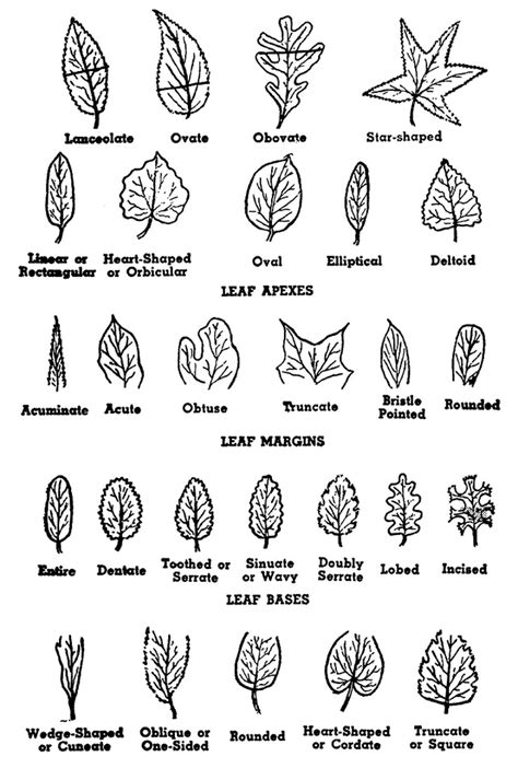 tree and leaf diagram how to identify a tree by its parts tree structure