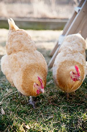 Backyard Chickens Omaha Returning To Roots Edible Omaha