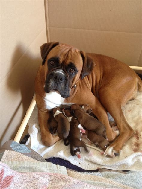 boxer puppies colorado bobtail standard boxer puppies pontefract west pets4homes