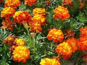 Flowers Marigold - tagetes cravina de t 250 nis cravinho da 205 ndia cravo an 227 o