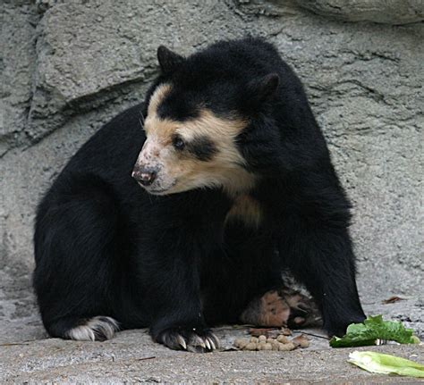 spectacled bear spectacled bear wikipedia