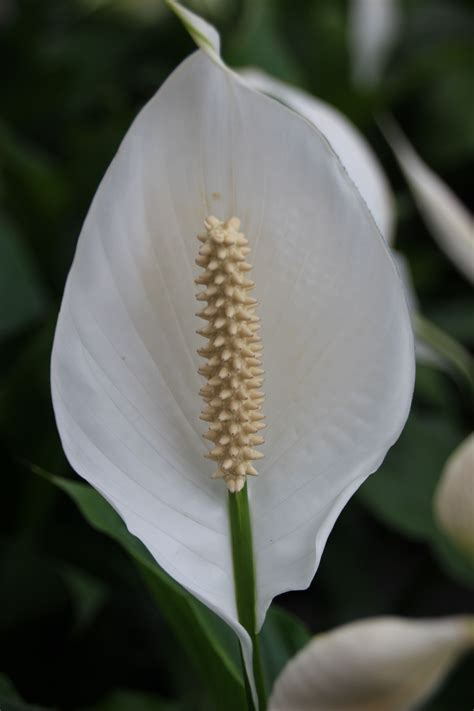 peace lily  images plants growing herbs indoors