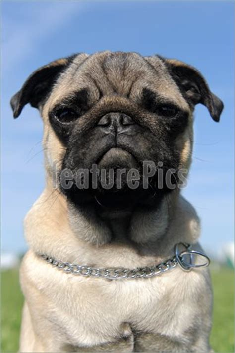 baby pug price pets baby pug stock photo i3119166 at featurepics