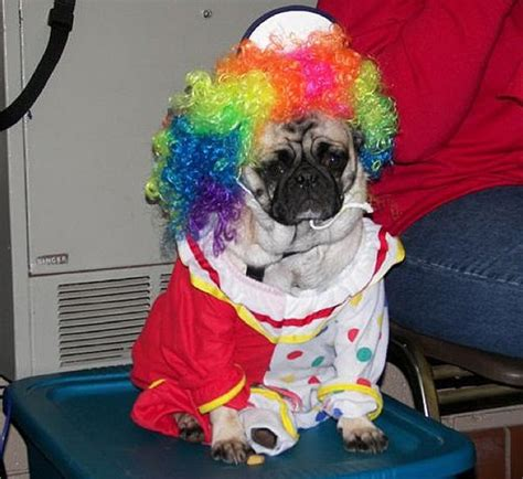 pugs in costumes 35 sad pugs in costumes damn cool pictures