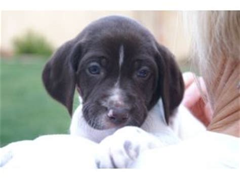 german shorthaired pointer puppies california german shorthaired pointer puppies in california