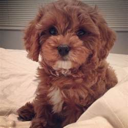 Cavapoo Shedding by Ch The Cavapoo Dogs Puppys Chs And