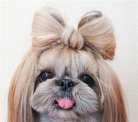 my shih tzu is seizures best 20 shih tzu mix ideas on shih tzu poodle shih tzu poodle mix and