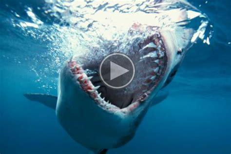 Alat Pijat Ikan Hiu begini jadinya bila ikan hiu makan kura kura money id