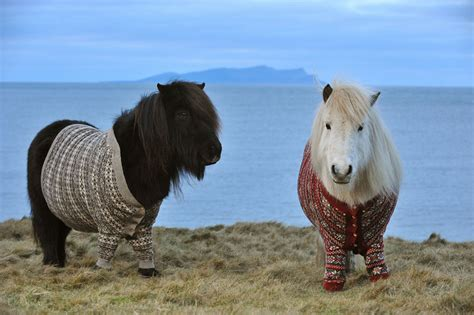 pony island picture7 lovely shetland ponies dressed in sweaters to promote
