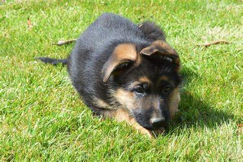 german shepherd puppies salem oregon german shepherd oregon breeds picture