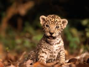 Jaguar Cheetah Baby Animals Images Jaguar Cub Hd Wallpaper And Background