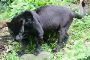Jaguar Cat Weight Animales Salvajes Que Habitaban O Habitan En Colombia