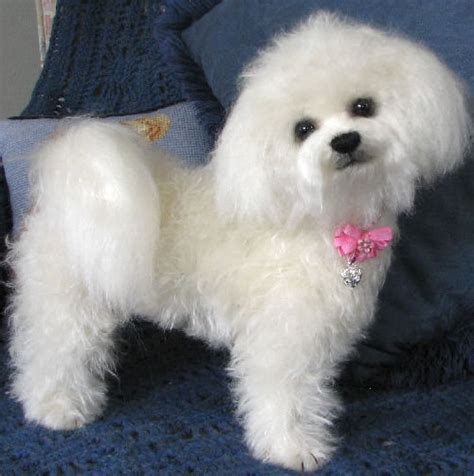 Bichon Frise Also Search For Bichon Frise Breed Remarkable Dogs
