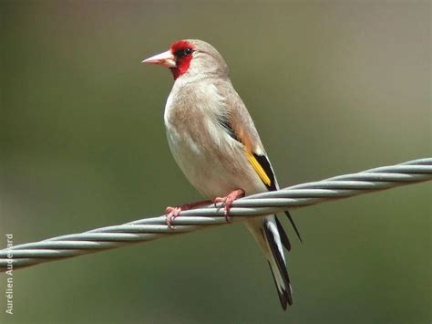 eastern goldfinch kuwaitbirds org