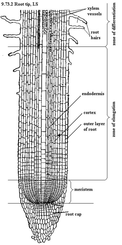 root structure diagram root structure apex zone of maturation zone of