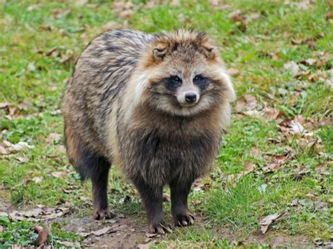 do japanese eat dogs that looks like raccoon breeds picture
