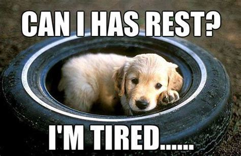 tired pup meme slapcaption com animals pinterest