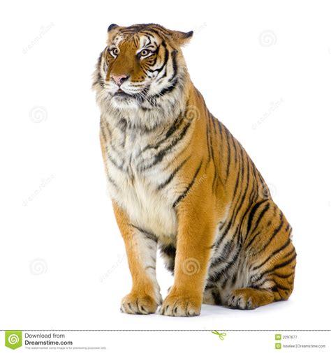 tigre seduta tiger sitting stock image image of isolated carnivore