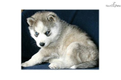 free puppies orange county siberian husky puppy for sale near orange county california 256daa6b 9aa1