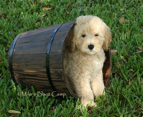 goldendoodle puppy cool 3d wallpapers wallpaper
