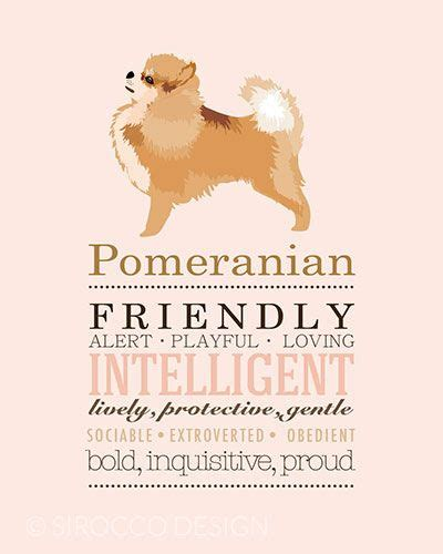 pomeranian anatomy 389 best images about pomeranian on