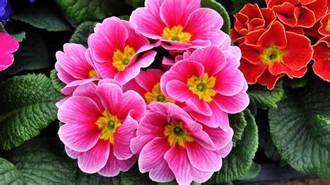primule in vaso primule ecco come coltivare i primi fiori di primavera