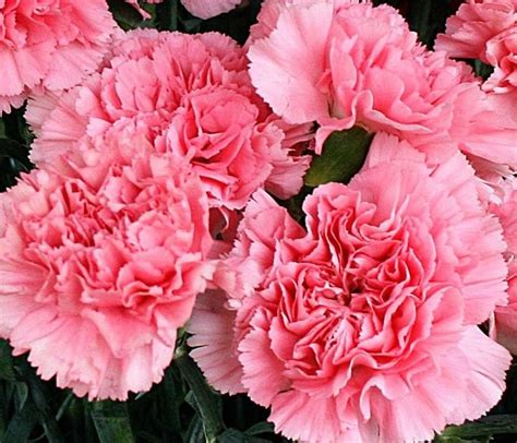 facts about carnations best 25 dianthus caryophyllus ideas on