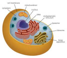 Cell model labeled as well plant and animal cell diagram worksheet on