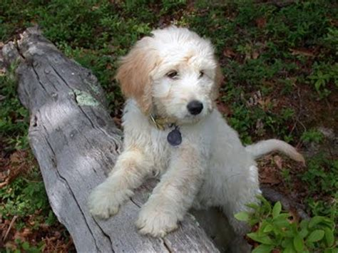 mini goldendoodle traits animal encyclopedia goldendoodle