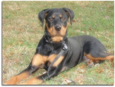 rottweiler puppies 6 months rottweiler puppies 6 months www pixshark images galleries with a bite
