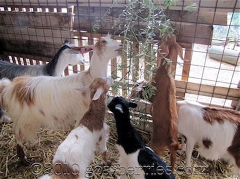can you house train a goat goat berries