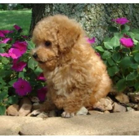 orange county indiana poodle rescue poodles poms n more llc poodle breeder in syracuse