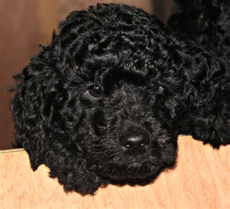 f1b labradoodle puppies for sale miniature f1b labradoodle pups for sale dogs puppies for sale breeds picture