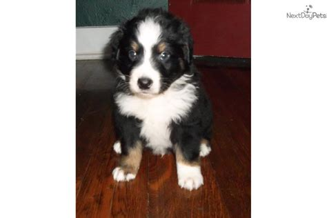 australian shepherd puppies for sale pa australian shepherd puppy for sale near pittsburgh pennsylvania bc10f5a0 14f1
