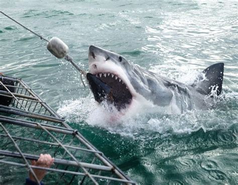 great white shark attacks cage fear of a great white shark attack grips new zealand